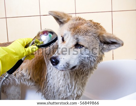 Cleaning the dog, purebred Akita Inu in bath - stock photo