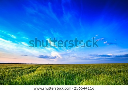 Clear blue sky over rural countryside field with green wheat. Late spring, early summer.