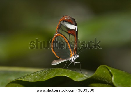 Clearwing Butterfly - stock photo
