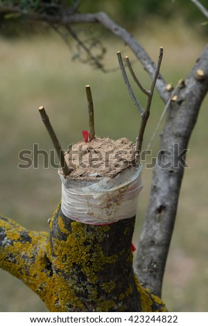 Cleft grafting twigs on olive tree branch. Agricultural technique. - stock photo