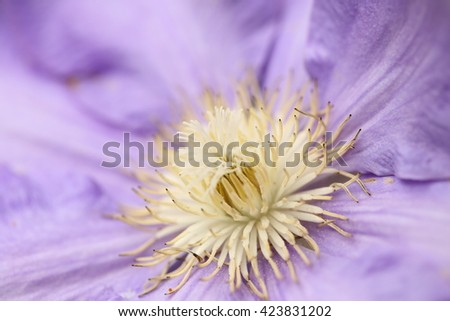clematis. - stock photo