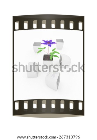 Clematis a beautiful flower in the white pot. The film strip - stock photo