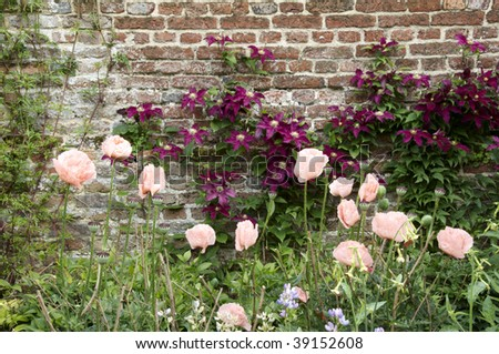 Clematis and pink poppy's with a brick wall in the background - stock photo