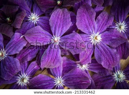 Clematis Blue Flowers Texture. Garden Ackmanii Clematis Background. Romantic floral background. - stock photo