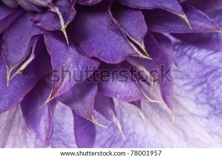 clematis - detail of petals - stock photo