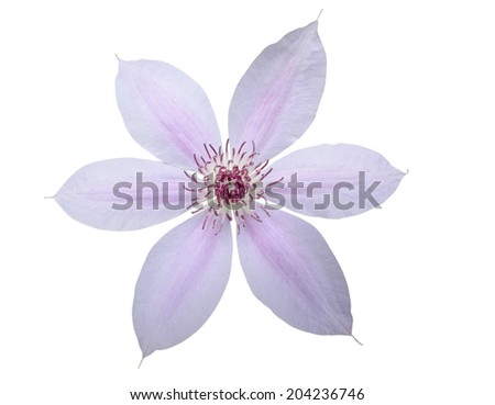 clematis flower - stock photo