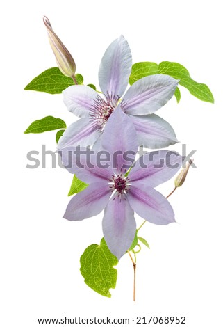 clematis flower branch isolated on white background