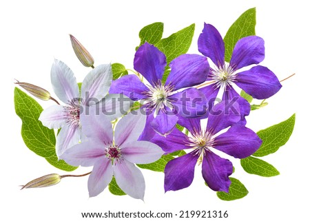clematis flower on a white background  - stock photo