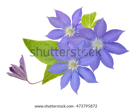 clematis flower on a white background