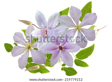 Clematis isolated - stock photo