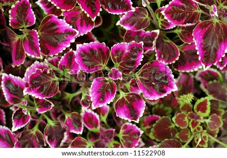 Clematis leaves plant red  macro - stock photo
