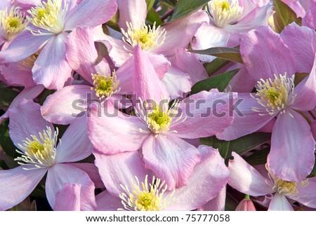 clematis montana, pink - stock photo