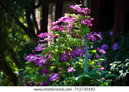 Clematis vine pink flowers climbing on stock photo edit now clematis vine with pink flowers climbing on support trellis mightylinksfo