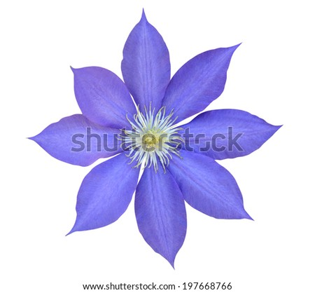 clematis violet flowers - stock photo