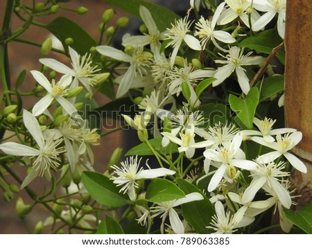 Clematis vitalba climbing shrub branched grooved stock photo clematis vitalba is a climbing shrub with branched grooved stems and scented white flowers mightylinksfo