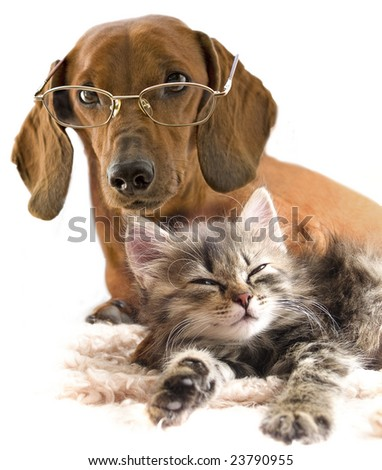 clever dog dachshund in glasses and cat
