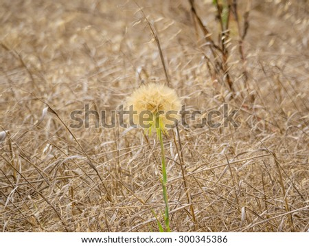 Cliff Desertdandelion (Malacothrix saxatilis) is a species of flowering plant in the aster family endemic to California, where it grows in the central and southern coastal hills and mountain ranges. - stock photo