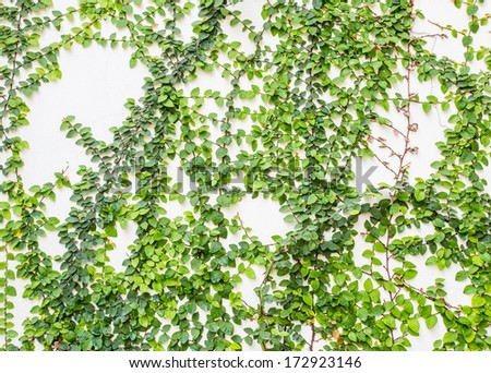 climbing fig on the wall - stock photo