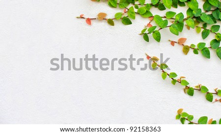 Climbing ivy on the white plaster walls. - stock photo