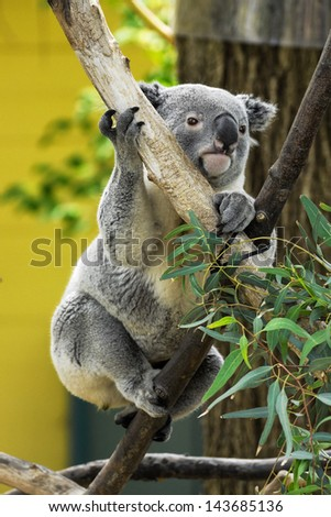 Climbing Koala:  A Koala climbs the branches of a tree as it moves toward a clump of eucalyptus leaves - stock photo