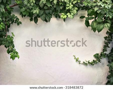 climbing plant on the white plaster walls - stock photo