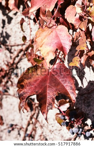climbing plant with red leaf