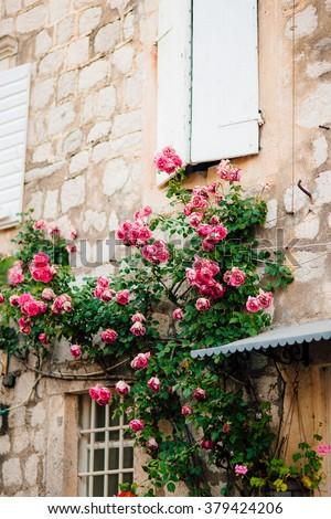 Climbing roses - stock photo