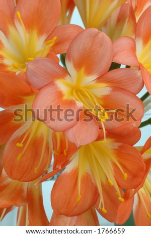 Clivia flowers closeup with water drops against gray background
