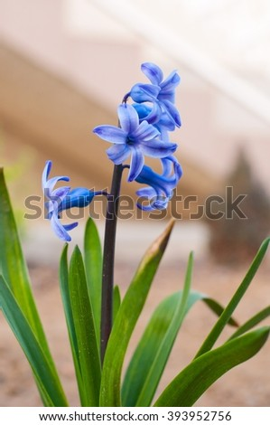 Close detail of beautiful blue hyacinth (Hyacinthus orientalis) bloomed on a flowerbed in spring. Vertical photo - stock photo