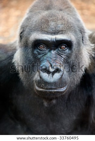 Close encouters of the Silverback kind with great expression in Eyes - stock photo