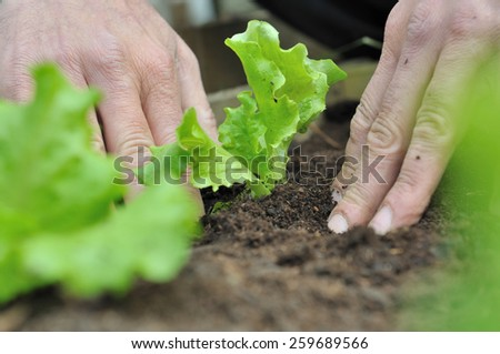 close gardener hands planting a young lettuce plant in vegetable garden - stock photo