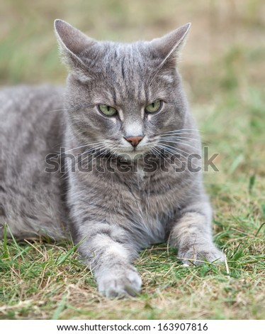 close image of an ash gray kitten playing outdoors