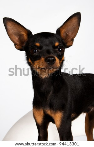 Close image of beautiful toyterrier