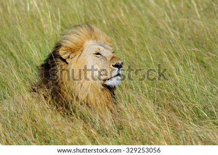 Close lion in National park of Kenya, Africa - stock photo