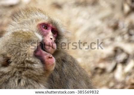 Close of two affectionate little monkeys hugging each other in park near Kyoto Japan - stock photo