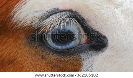 Close on a horse's beautiful blue eye/Horse's Blue Eye/Close on a horse's beautiful blue eye.  - stock photo