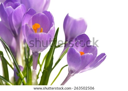 close on  crocus with pistils isolated on white background - stock photo