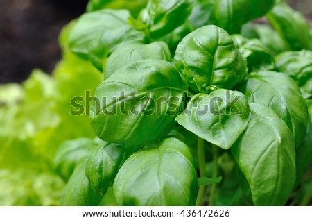 close on leaf of freshness basil  - stock photo
