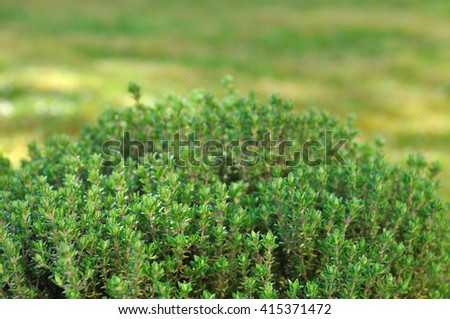 close on thyme in garden  - stock photo