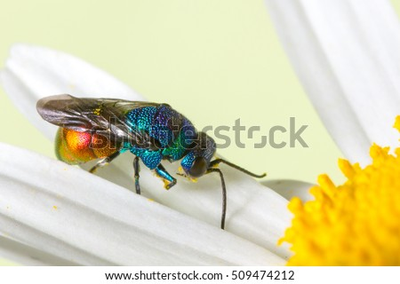 Close photo of  cuckoo wasps or emerald wasps.