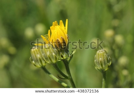 close photo of hawkweed with bright yellow bloom and some buds - stock photo