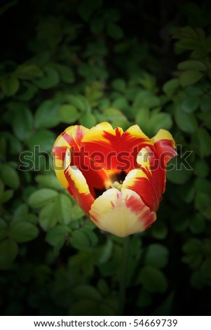 close photographed tulip bud - stock photo
