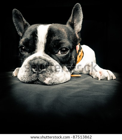 Close plane of a french bulldog - stock photo