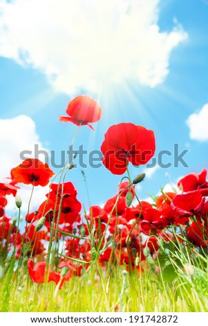 Close poppies flowers in the spring field low angle shoot with clouds on background