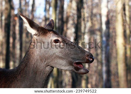 Close portrait of a deer with his mouth open - stock photo