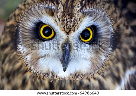 Close portrait of a short eared owl - stock photo