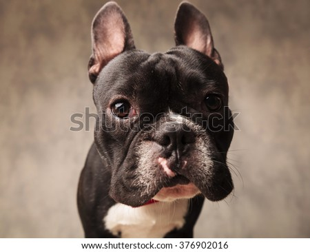 close portrait of cute french bulldog puppy dog looking at the camera in gray studio background - stock photo
