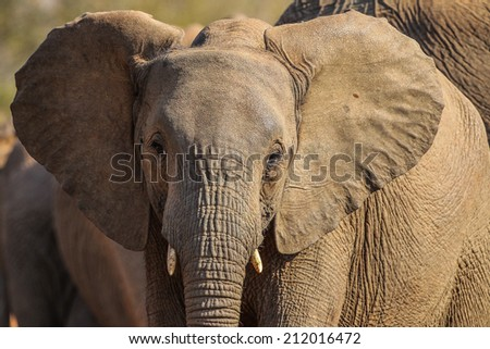 Close portrait of young elephant, South Africa