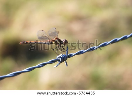 Close shot of a common darter dragonfly (Sympetrum striolatum) on a barbed wire - stock photo
