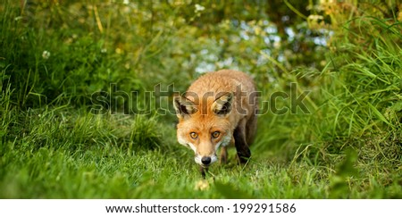 Close shot of a Red Fox in the evening sun - stock photo